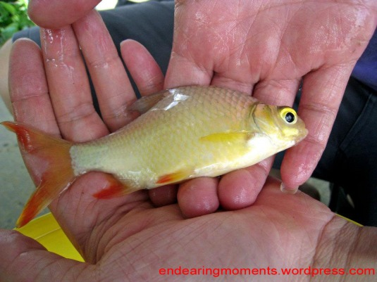 The silvery or golden yellow body, with its fin orange or blood-red in color...definitely,a sight to behold...