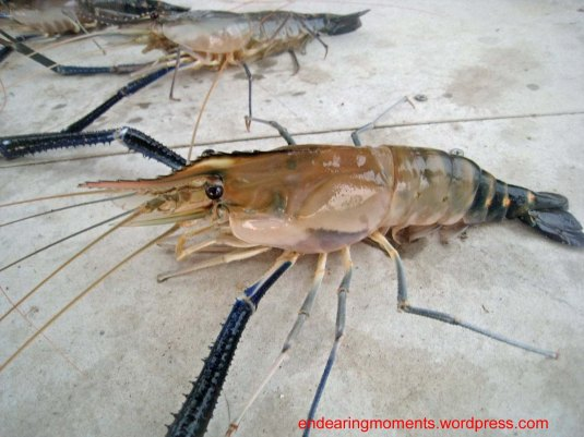 Giant  River Prawn,some call it River Lobster